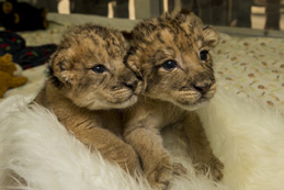 Lion cubs at Safari Park. Photo by Ken Bohn, San Diego Zoo