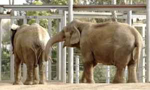 Elephants Mila and Mary hold tails during first meeting at San Diego Zoo.