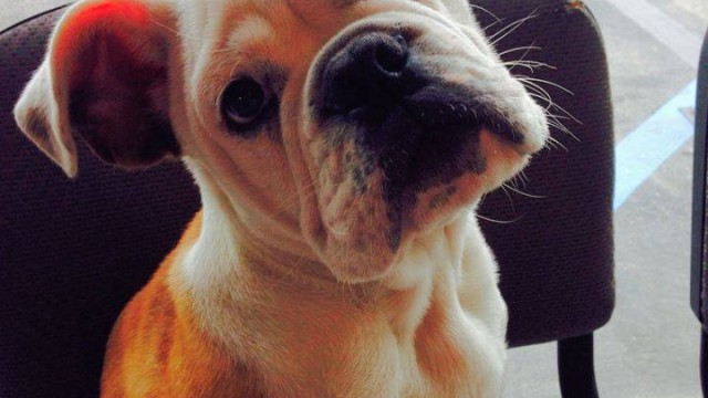 Schroeder, the missing English bulldog puppy. Photo credit: San Diego County Sheriff's Department/Facebook