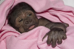 A baby gorilla born by C-section at the San Diego Zoo Safari Park is fighting pneumonia after surgery for a collapsed lung. Photo by San Diego Zoo.