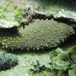 A Galápagos Sea Cucumber,