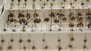 Sample of James Hung bee collection at UCSD. Photo courtesy UCSD News Center