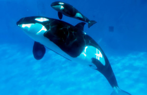 A baby Orca with its mother at SeaWorld. Mike Aguilera / SeaWorld San Diego