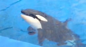 Kalia, a killer whale from SeaWorld. Photo credit: SeaWorldphotography/YouTube