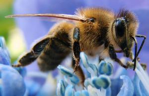 Western honey bee. Photo courtesy Wikimedia Commons