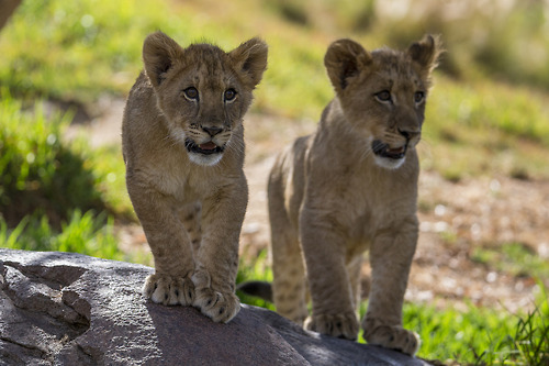 Squeeee The San Diego Zoo S Lion Cubs Play And Pounce Times Of