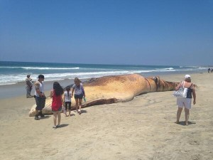 The dead fin whale at Border Field State Park. Image via CBS News 8 and Twitter