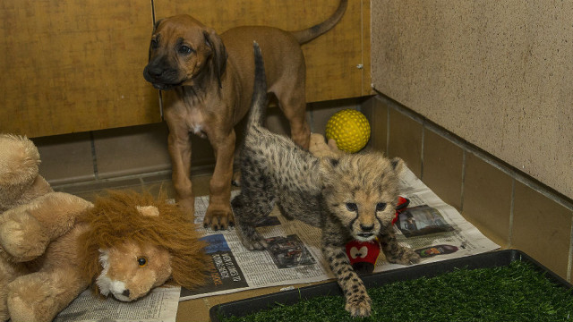The San Diego Zoo Safari Park's 7-week-old cheetah cub Ruuxa is getting to  know his new dog companion. Photo by Ken Bohn, San Diego Zoo Safari Park