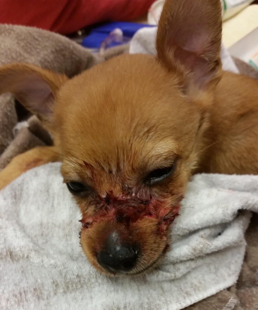 Flynn, the Chihuahua puppy who had his muzzle bound leading cuts down to the bone. Courtesy of San Diego Humane Society.