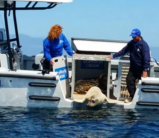 Release of elephant seal pups. Photo credit: SeaWorld San Diego/via Instagram.
