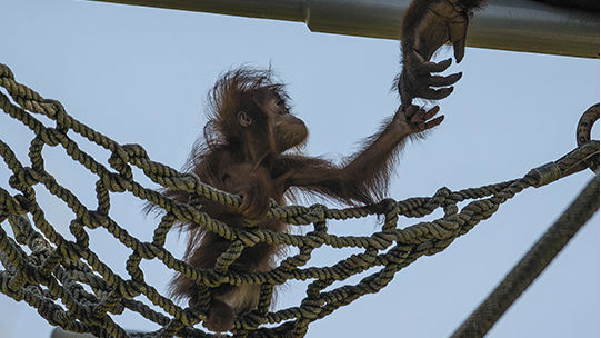 The baby orangutan Aisha at the San Diego Zoo reaches for her mother. Photo by Ken Bohn, San Diego Zoo