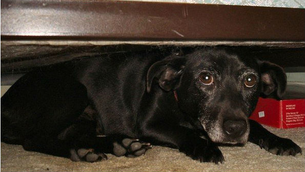 A dog hides under a bed during fireworks. Photo courtesy PETA