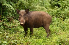 Feral pig. Photo credit: Wiki Commons