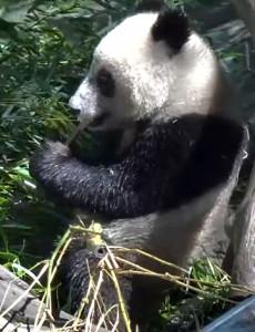 San Diego Zoo's Panda, Xiao Liwu