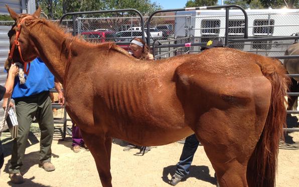 Emaciated Horse