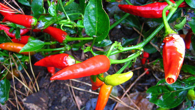 UCSD researchers have found another benefit of hot peppers – an ingredient in them may help fight cancer. Photo credit: Andrew Ratto via Wikimedia Commons.