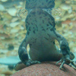 yellow-legged mountain frog
