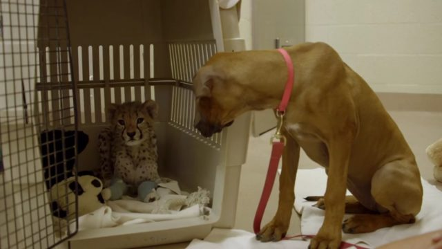 Ruuxa Zoo's cheetah cub with his puppy