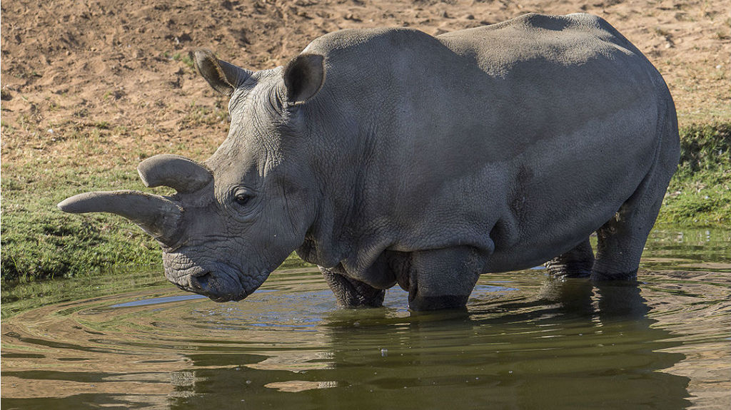 Nola, a northern white rhinoceros, stands in the pond of the Africa plains exhibit Tuesday at the San Diego Zoo Safari Park. Ken Bohn, San Diego Zoo