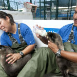 Rescued California sea lion pups are cared for by SeaWorld San Diego animal care specialists.
