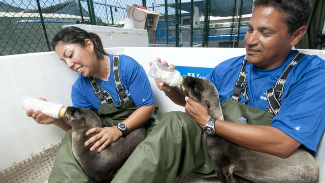 Rescued California sea lion pups are cared for by SeaWorld San Diego animal care specialists.  Photo by Mike Aguilera/SeaWorld San Diego