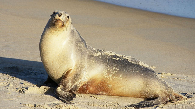 Sea lions such as this are common fixtures in and around San Diego. Photo via Wikimedia Commons