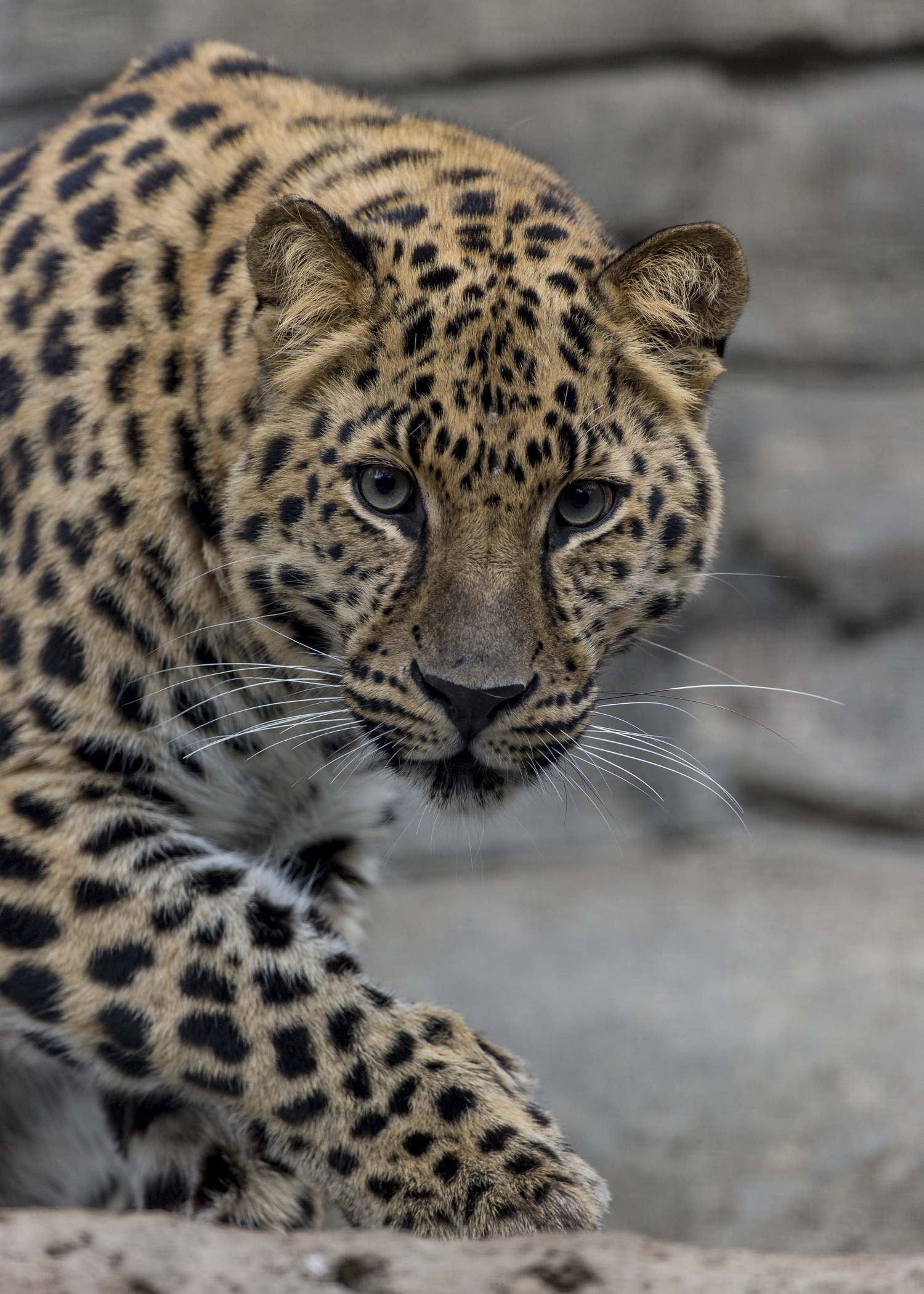 Through Golden Eyes: Zoo breaks ground on leopard exhibit