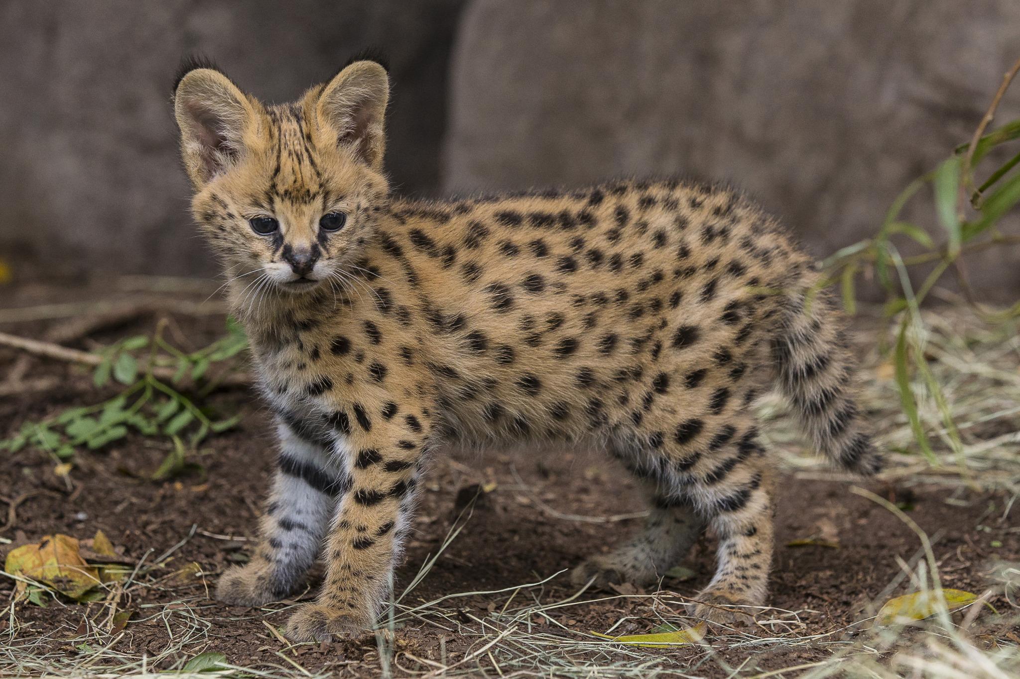 Hello Kitty Serval Kitten Makes His Public Debut at San Diego