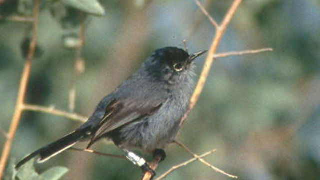 California_Gnatcatcher (1)