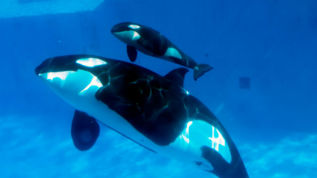 A killer whale calf swims with its mother at SeaWorld San Diego. Courtesy SeaWorld