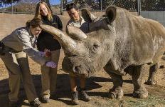 Veterinarians at the San Diego Zoo Safari Park examine Nola, a 40-year-old White Rhino. Photo by Ken Bohn, San Diego Zoo Safari Park
