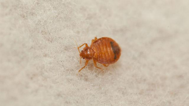 Bed Bug Control Orkin Bed Bug Control