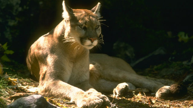 A mountain lion. Photo courtesy California Department of Fish and Game