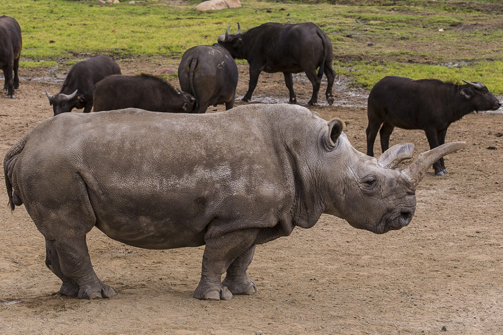 Nola, a critically endangered 40-year-old female northern white rhino at the San Diego Zoo Safari Park. Photo by Ken Bohn/San Diego Zoo Safari Park