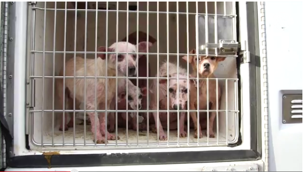 Dogs that were rescued from a San Ysidro home. Courtesy of County News Center.