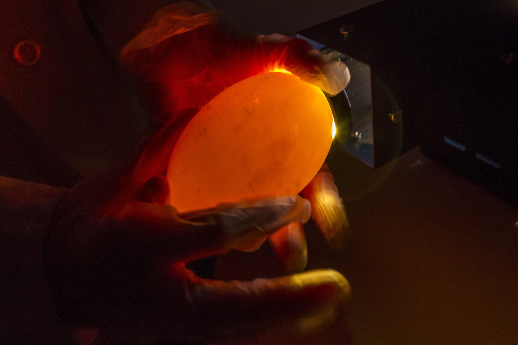 Senior keeper Debbie Marlow carefully held a 2-week-old California condor egg up to a warm, bright light during a process known as candling at the San Diego Zoo Safari Park. Photo credit: Ken Bohn/San Diego Zoo Safari Park