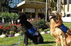Two of Tri-City Medical Center's 15 pet-therapy dogs on the hospital lawn.