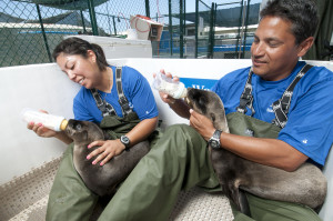 California sea lion pups are cared for round the clock by SeaWorld animal care specialists as part of the park's Animal Rescue and Rehabilitation Program. Photo credit: Mike Aguilera/SeaWorld San Diego