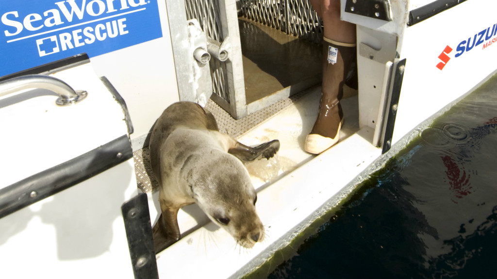 A California sea lion pup is returned back into the ocean as part of SeaWorld's Animal Rescue and Rehabilitation Program. Photo credit: Mike Aguilera/SeaWorld San Diego