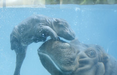 A hippo calf, born Monday, playing with his mother, Funani. Photo credit: Lee Rieber/San Diego Zoo