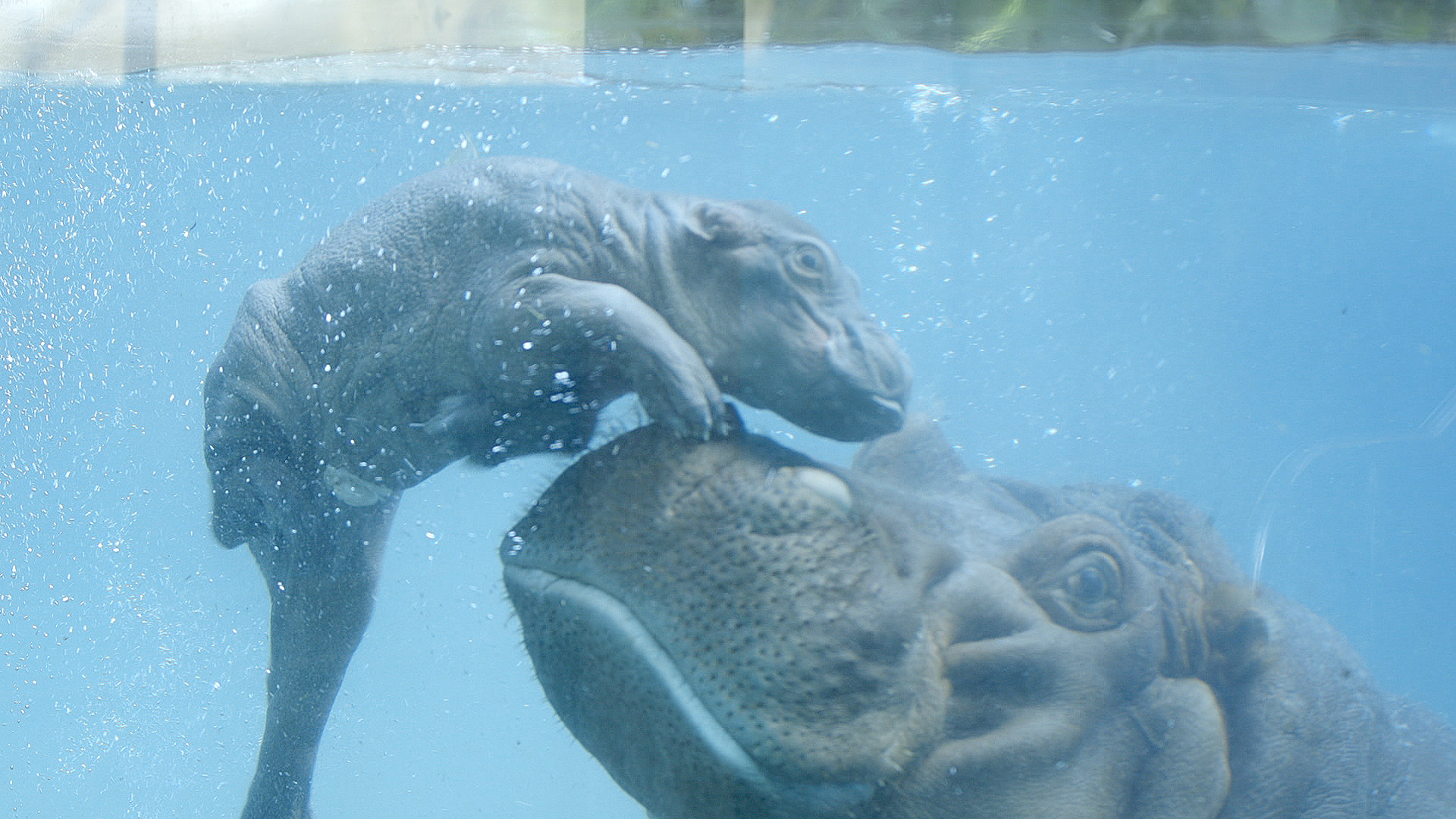 San Diego Zoo Welcomes New Hippo Calf - Times of San Diego