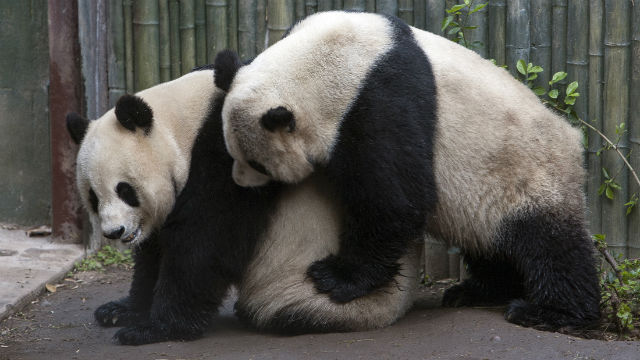 Zoo Tries To Artificially Inseminate Giant Panda Bai Yun