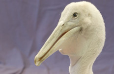 The one-month-old Dalmatian pelican chick at the San Diego Zoo. Photo courtesy of the zoo