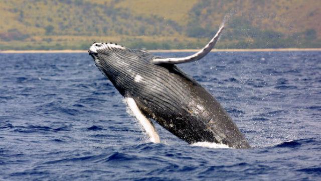 A humpback whale. Courtesy NOAA