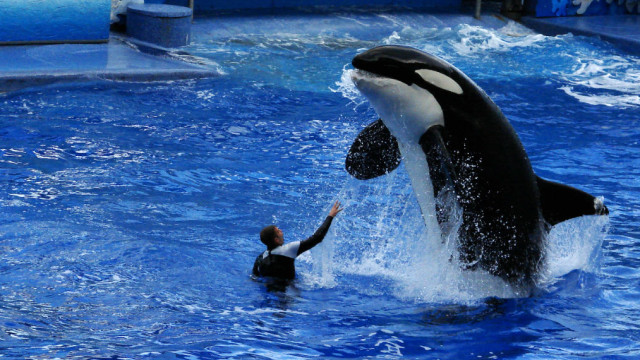 Trainer interacts with killer whale at SeaWorld Florida before federal ban on waterwork with the orcas. Image via Wikimedia Commons