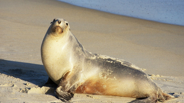 A sea lion. Photo courtesy Wikimedia Commons.