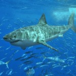 Adult great white shark