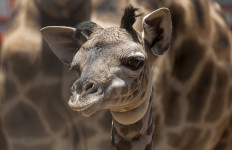 Masai giraffe calf at the  San Diego Zoo. Courtesy photo