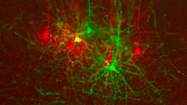 In the neocortex, neighboring cells are shown making connections to the visual cortex (red) and the somatosensory cortex (green). Salk Institute photo