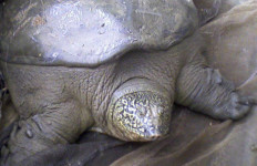 A Yangtze giant softshell turtle. Photo via Wikimedia Commons